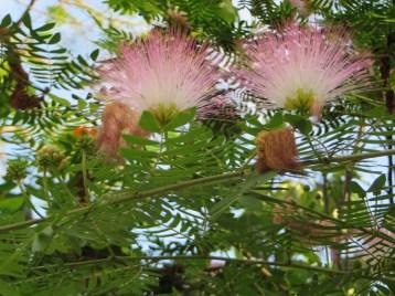 花のアップ オオベニゴウカン