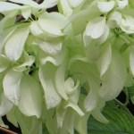 ムッサエンダ・フィリピカ 白花の系統