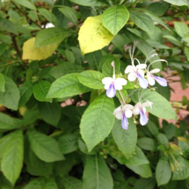 クレロデンドロン・ウガンデンス 花と葉の様子