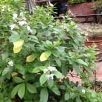 クレロデンドロン・ウガンデンス 木の様子