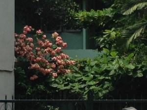 ムッサエンダ・フィリピカ ピンクの花の木