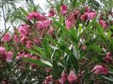 キョウチクトウ ピンクの花の姿