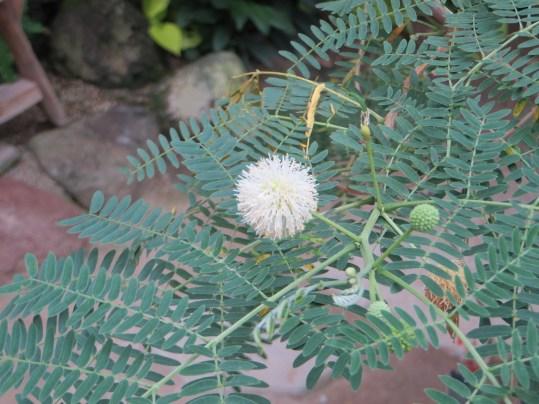ギンネム 花のアップ