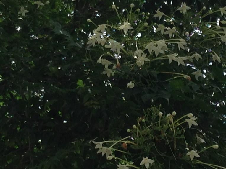 Indian cork tree/ コルクノウゼン