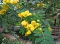 モクセンナ 花と葉の様子