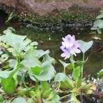 こっそり咲くホテイアオイ