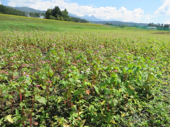 赤蕎麦と八ヶ岳