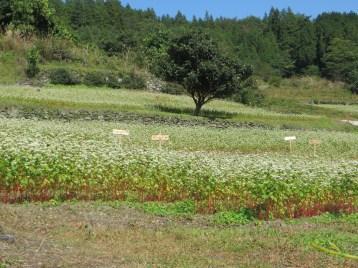 山の高原に広がるソバ畑
