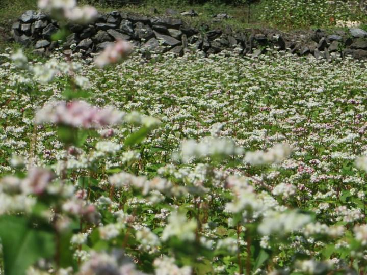 薄いピンクの花も混じる畑