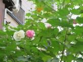 スイフヨウ 紅白の花