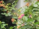ランタナにとまるアゲハチョウ
