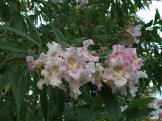 キョウチクトウ 少しちぢみの入った花