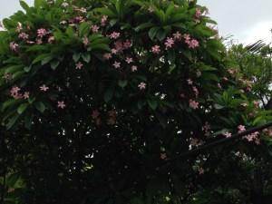 プルメリア ピンクの花をつけた木の全景