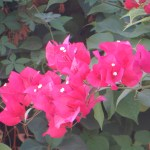 典型的な花の姿 ブーゲンビリア