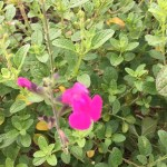 Salvia greggii/ autumn sage オータムセージ