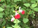 Salvia hot lips / チェリーセージ