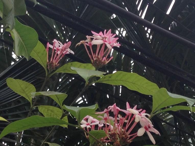 Pink kopsia/ コプシア
