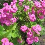 ハナカタバミ 花と植物全体
