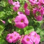 ハナカタバミ 花のアップ
