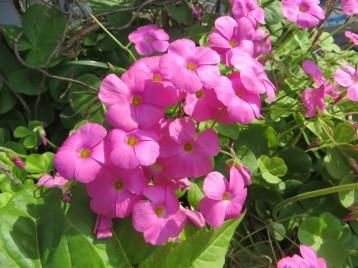Red-flower woodsorrel/ ハナカタバミ