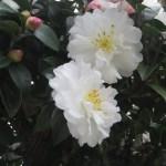 白い花のアップ