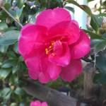 Christmas camellia/ サザンカ