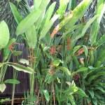 Heliconia marginata x bihai の遠景
