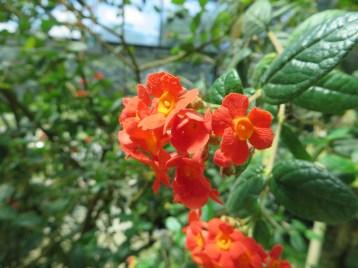 Panama-rose/ ベニマツリ
