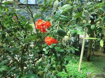 ベニマツリの花と枝