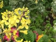 ハボタンの花(アップ)