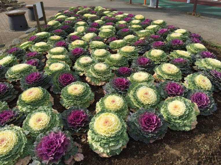 Ornamental cabbage / ハボタン