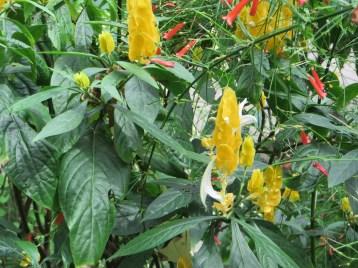 ウコンサンゴバナ 花と草の姿