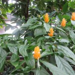 ウコンサンゴバナ 植物全体の様子