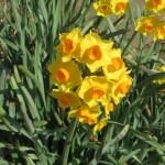 黄花のスイセン