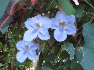 ベンガルヤハズズカズラ 花の姿
