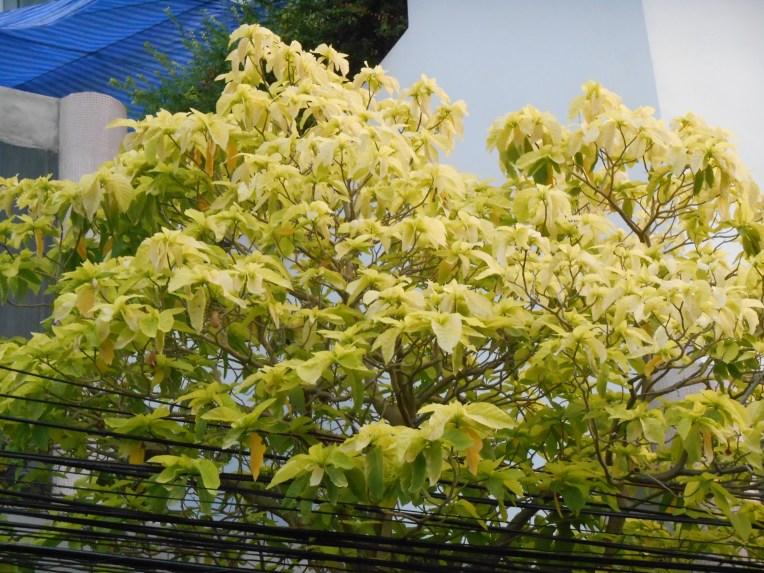 Lettuce tree/ サラダノキ