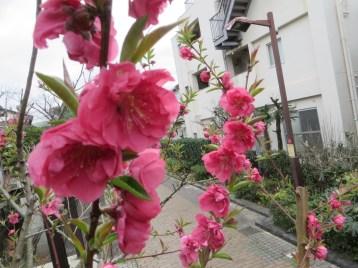 やや赤みの強い花