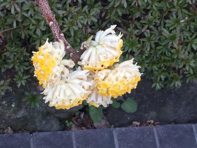 Oriental Paperbush / ミツマタ