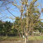 サンシュユ 木の全景