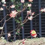 ミツマタ 赤い花の種類