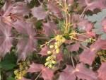 Mahonia japonica/ ヒイラギナンテン
