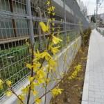 チョウセンレンギョウ 花の様子