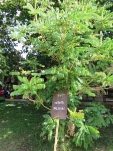 ナガバノゴレンシ木の姿