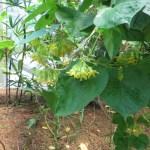 イエライシャン 植物の様子