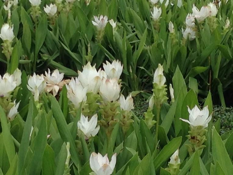 Siam tulip / クルクマ・シャローム
