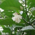サンユウカ 花とつぼみ
