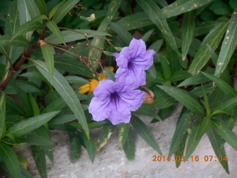 Mexican petunia/ ヤナギバルエラソウ