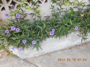 ヤナギバルエラソウ 植物の全体像