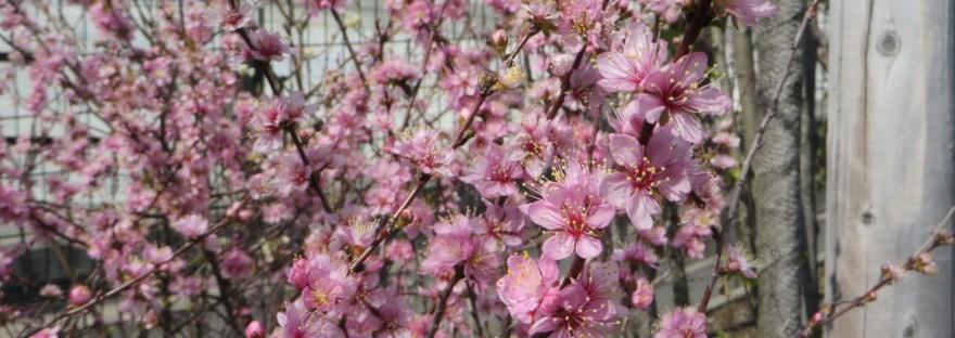 Japanese bush cherry/ ニワウメ