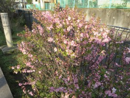 ニワウメ 木の様子